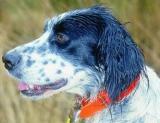 Les chiens de chasse demandent une attention particulière