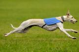 Le levrier Greyhound peut atteindre des vitesses incroyables