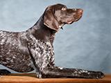 Le braque allemand: chien de chasse, mais pas que!!
