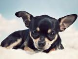 Suisse - Le chihuahua, premier au palmarès des races de chiens