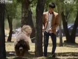 Mastiff du Tibet: le chien à un million de dollars