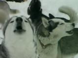 Reportage sur le husky sibérien