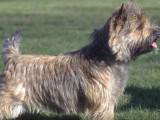 Tout savoir sur le Cairn Terrier