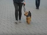 L'éducation d'un Welsh Terrier en 4 semaines