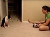 Série d'exercices pour ce Boston Terrier