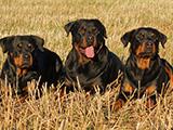 Le Rottweiler : un chien victime de son image