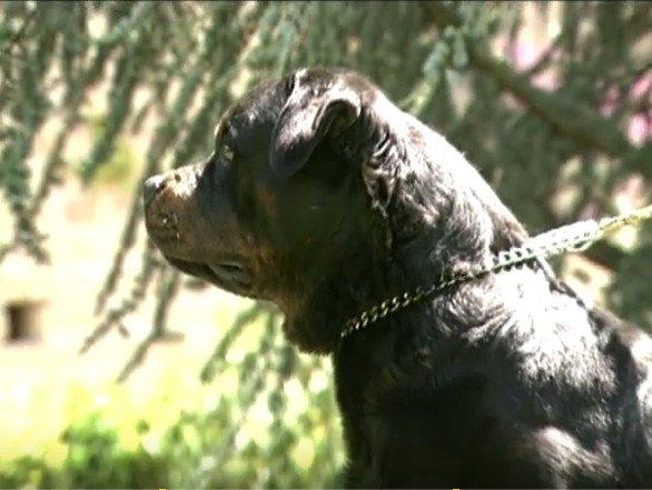 Vidéo Présentation du rottweiler