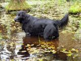 Nomenclature des races - Groupe 8 : Chiens rapporteurs et leveurs de gibier, chiens d'eau