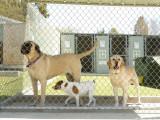Gérer une pension pour chiens: qualités requises, formation et débouchés