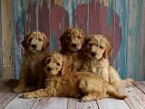Devenir éleveur canin: qualités requises, formations, diplômes et débouchés