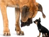 Les plus grandes races de chiens