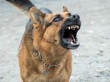 Les chiens considérés comme les plus dangereux