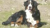 Le bouvier bernois : le plus beau chien du monde