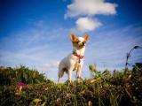chihuahua, un chien star