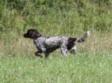 Petit Münsterländer : un chien d'arrêt très prisé