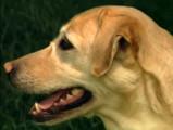 Reportage sur le labrador