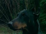 Reportage sur le dobermann
