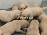 L'évolution de chiots Golden Retriever