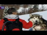 Les Malamutes d'Alaska à la montagne