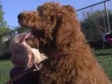 Caniche : tout sur cette race de chien