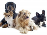 Les principales couleurs de robes du chien