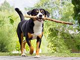 Bouvier d'Appenzell un chien en voie de disparition