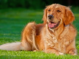 Race du Mois : Le Golden Retriever