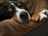 Les  douleurs du chien : identifier et éliminer la douleur