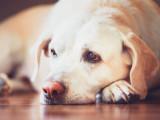 L'anémie chez les chats et les chiens