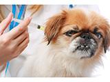 Chine : vaccination de 700 000 chiens contre la rage