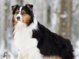 Une anomalie du gène MDR dangereuse pour les chiens de berger