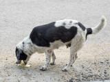 Vomissements chroniques chez le chien