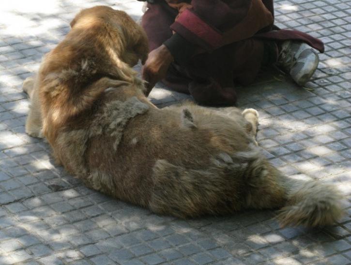 Alop cie les maladies pouvant entra ner la perte de poils chez le chien les dysplasies - Perte de poils chez le chat ...