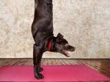 yoga pour chiens