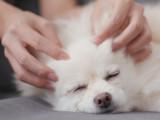Le Shiatsu pour chien