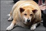 ETATS-UNIS  -  Médic pour toutous obèses