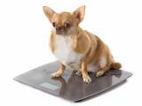 Comment faire maigrir un chien obèse ou en surpoids ?