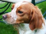 Le propriétaire de la chienne victime d'une saillie non désirée est débouté