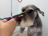 Conseils de toilettage pour un chien Schnauzer
