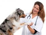 Les opérations de convenance et la chirurgie esthétique pour chien