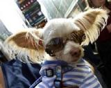 chirurgien esthétique pour chiens