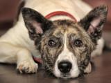 Les signes et conséquences de la vieillesse chez le chien
