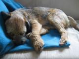 Un Border Terrier hilare pendant son sommeil