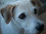 Les races de chiens qui vivent le plus longtemps