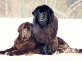Les races de chiens qui vivent le moins longtemps