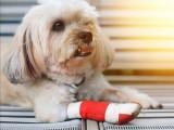 Les risques d'accidents domestiques pour les chiens