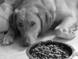 Chien qui refuse de manger : l'anorexie chez le chien