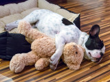 Le rêve chez le chien