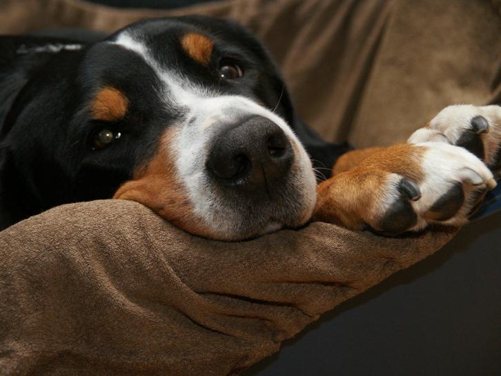 les douleurs du chien identifier et liminer la douleur. Black Bedroom Furniture Sets. Home Design Ideas