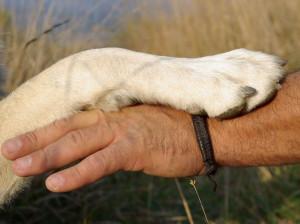 Les effets négatifs de la domestication et de la création des races sur la santé des chiens